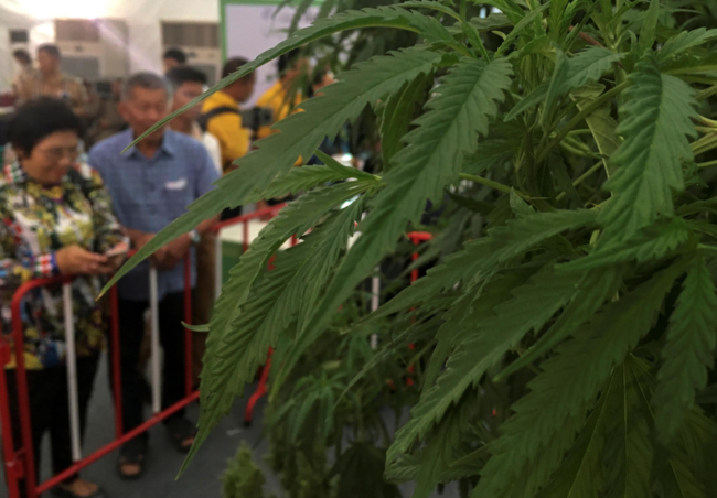 Thailand unveils first batch of medical marijuana for hospital distribution